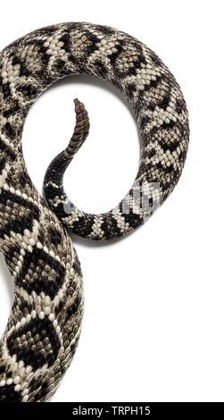 Crotalus atrox, western diamondback rattlesnake or Texas diamond-back, venomous snake against white background - Stock Photo