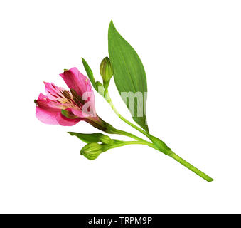 Closeup of pink alstroemeria flower isolated on white - Stock Photo