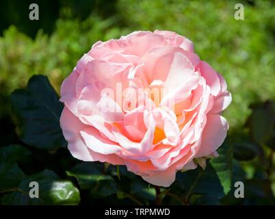 Rosa Johann Strauss - Stock Photo