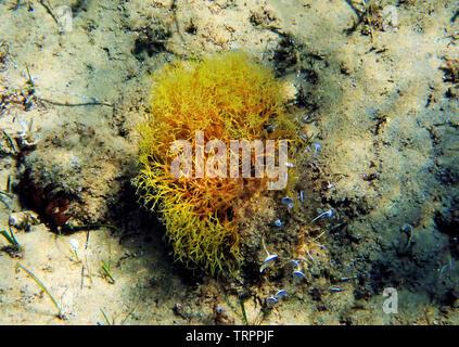 Yellow branched Mediterranean algae underwater shot - Stock Photo