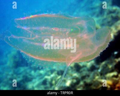 Sea walnut comb jellyfish - Mnemiopsis leidyi - Stock Photo