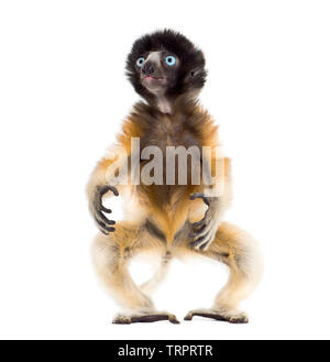 Soa, 4 months old, Crowned Sifaka standing against white background - Stock Photo