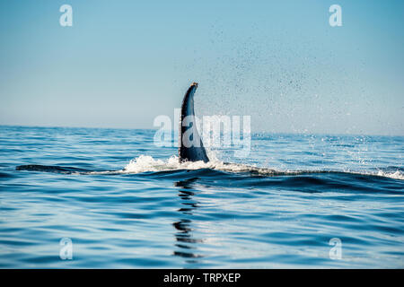 Mighty humpback whale above  surface of the ocean. Scientific name: Megaptera novaeangliae. Natural habitat. Pacific ocean, near the Gulf of Californi - Stock Photo
