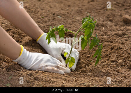 hands in gloves holding seedling of tomato in the garden - Stock Photo