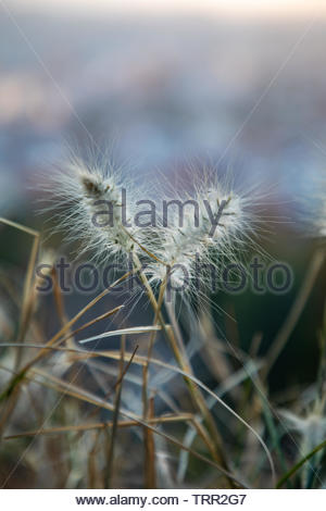 Dry plant focused on foreground with blurred city on the background during sunset and copy space - Stock Photo