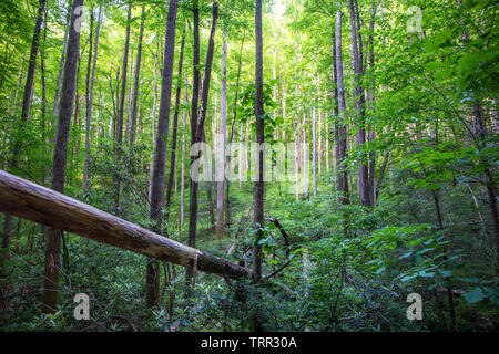 Early morning sunlight filters through dense forest in the Pisgah National Forest in the North Carolina mountains. - Stock Photo