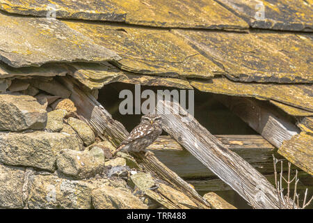 A Little Owl (UK), Athene Noctua, perching on a wooden roof beam in an old barn. - Stock Photo