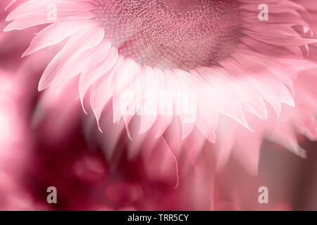 sunflower on pink background - Stock Photo