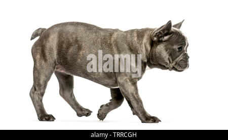 running French Bulldog, 3 months old, in front of white background - Stock Photo
