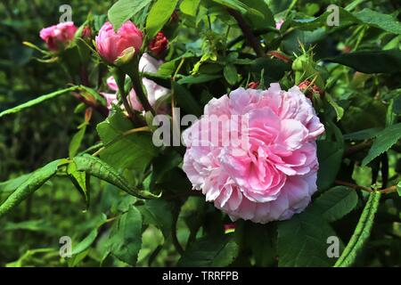 Colorful rose blossom in a high details close up view - Stock Photo