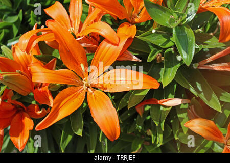 Beautiful orange lilies in a home flower bed - Stock Photo