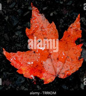 Bright orange maple leaf on dark wet gravel with rain drops in autumn/fall. - Stock Photo