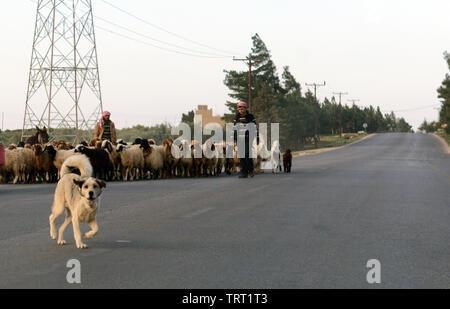 Sheep herding in the mountainous region of central Jordan. - Stock Photo