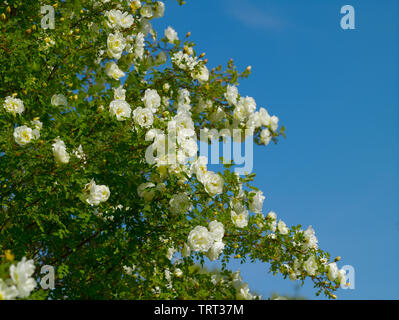 Rose-hip bush with white flowers in the garden in the village on a summer sunny day - Stock Photo