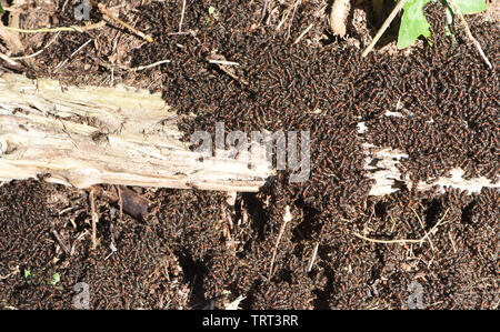Wood ants (Formica rufa) congregate in the sun on top of their nest in pine woods on an unseasonably warm and sunny February day. Bedgebury Forest, Ke