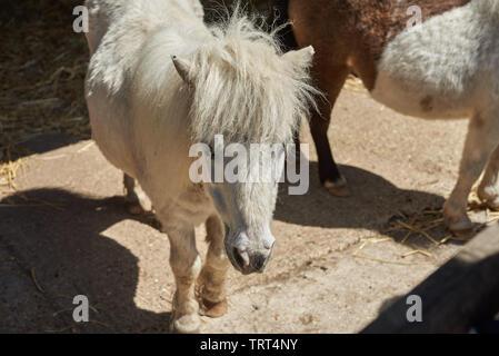 Beautiful white Mini Shetland Pony (miniature pony) standing in the sunshine on a farm. - Stock Photo