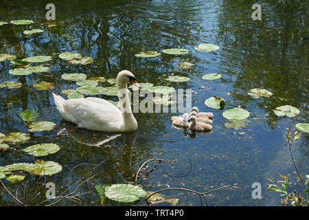 Beautiful Mute Swan with her young cygnets swimming on a lake. - Stock Photo