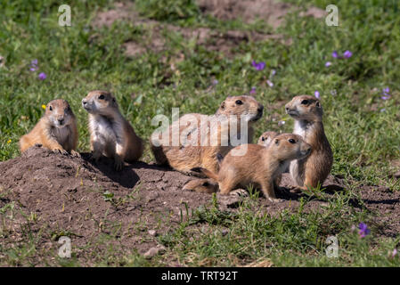 Black-tailed prairie dogs (Cynomys ludovicianus), a family at their burrow, Badlands National Park, South Dakota, USA. - Stock Photo