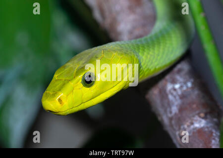 Eastern green mamba (Dendroaspis angusticeps) in a tree, captive (Native to Eastern Africa). - Stock Photo