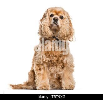 American Cocker Spaniel sitting in front of white background - Stock Photo