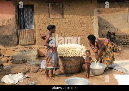 Récolte du manioc. Dtacha. Togo. Afrique de l'Ouest. - Stock Photo