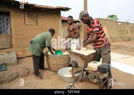 Récolte du manioc. Coopérative agricole. Dtacha. Togo. Afrique de l'Ouest. - Stock Photo