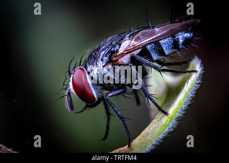 A hairy fly from the family Tachinidae, sitting on a leaf in Queensland rainforest, Australia - Stock Photo