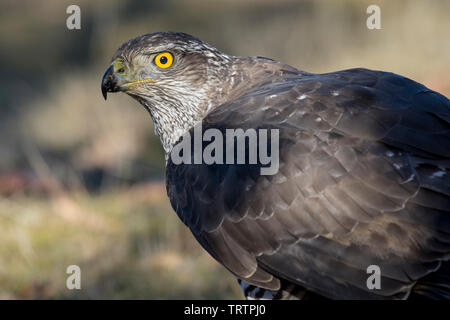 Northern goshawk, Accipiter gentilis, portrait. Spain - Stock Photo