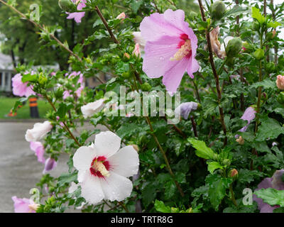 Delicate twin Rose of Sharon flowers (pink and white) fresh after morning rain, with water drops on the perfect petals, even focus - Stock Photo
