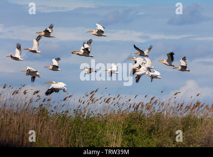 A flock of Great White Pelicans, Pelecanus onocrotalus, over Phragmites reeds in the Danube Delta Biosphere Reserve in eastern Romania. - Stock Photo