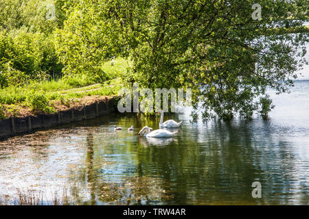 A pair of swans and their cygnets on one of the lakes at Cotswold Water Park near Cerney Wick in Gloucestershire. - Stock Photo