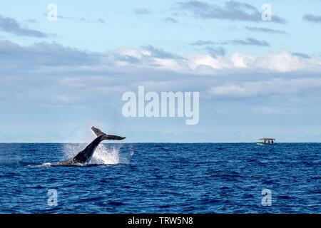 Humpback whale tail slap splash in pacific ocean Moorea French Polynesia - Stock Photo