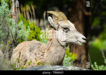 Ewe lying in the sage in Yellowstone - Stock Photo