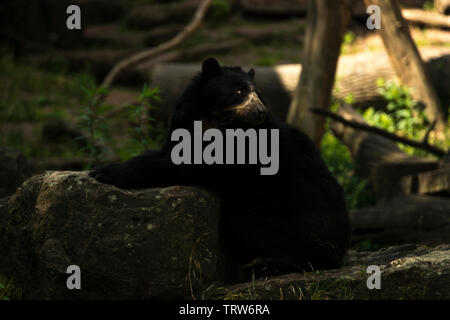 Spectacled Bear (Tremarctos ornatus) - Stock Photo