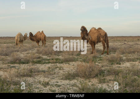 Camel walking on the dry steppe in Central Asia. - Stock Photo