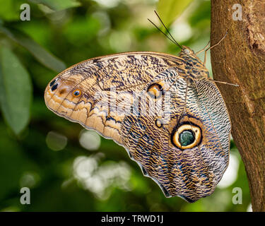 Yellow-edged Giant Owl Butterfly - Stock Photo