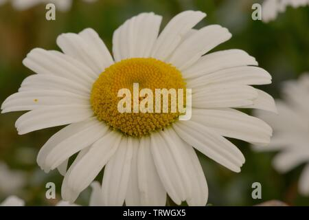 Macro shot of a field daisy in bloom - Stock Photo