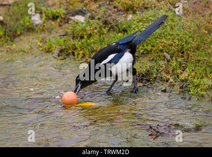 Magpie (Pica pica) - Stock Photo