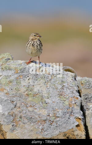 Meadow pipit, Anthus pratensis, photographed next to Tarbatness lighthouse in the highlands of Scotland. - Stock Photo