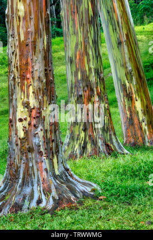 Painted Eucalyptus trees. Keahua Arboretum. Kauai, Hawaii - Stock Photo