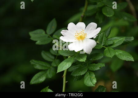 white blossom of a wild rose - Stock Photo