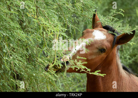 Wild Horses roam the Tonto National Forest in Arizona. - Stock Photo