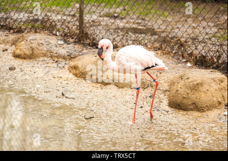 Lesser Flamingo (Phoeniconaias minor) stands near the water's edge. Note the black bill and the pink legs. - Stock Photo