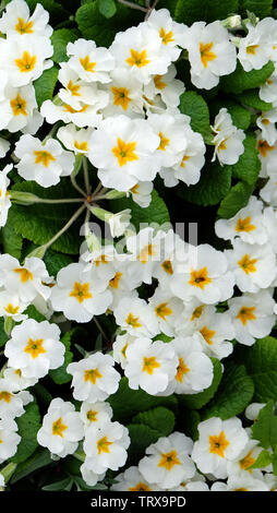 Many white primrose flowers in full bloom. A five-petals white flower with yellow star shape in middle. - Stock Photo