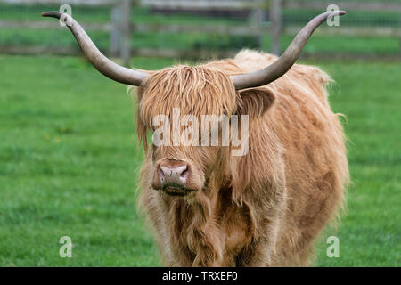 close up portrait of A single long horned highland cattle cow stands in the meadow staring at the camera - Stock Photo