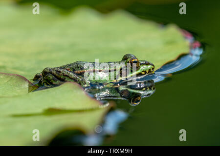 Rana esculenta-  common water frog sunbathing in a lake - Stock Photo