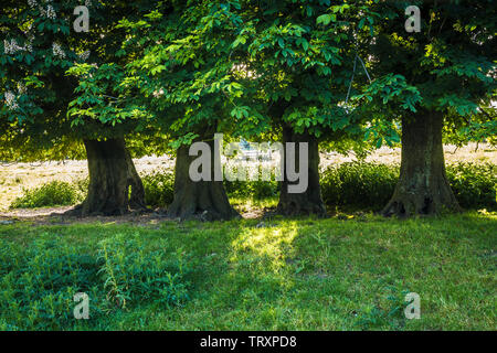 Four Horse Chestnut trees (Aesculus hippocastanum) in a field on a an early summer's morning. - Stock Photo