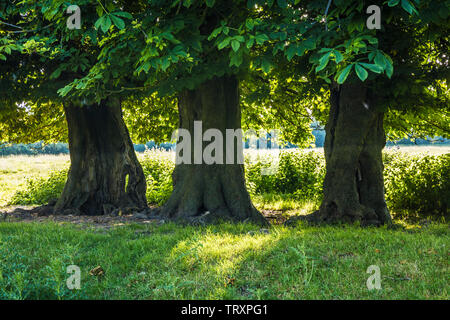 Three Horse Chestnut trees (Aesculus hippocastanum) in a field on a an early summer's morning. - Stock Photo