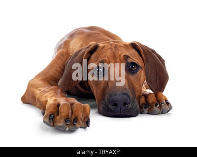 Cute wheaten Rhodesian Ridgeback puppy dog with dark muzzle, laying down facing front. Looking at camera with sweet brown eyes. Isolated on white back - Stock Photo