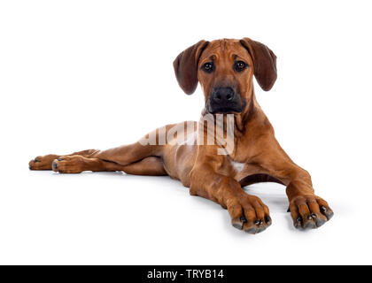 Cute wheaten Rhodesian Ridgeback puppy dog with dark muzzle, laying down side ways facing front. Looking at camera with sweet brown eyes. Isolated on - Stock Photo